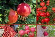 سیروان؛ قطب تولید انار در استان ایلام/ فصل برداشت یاقوت سرخ آغاز شد