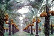افزایش ۳۵ درصدی تولید خرما در خوزستان