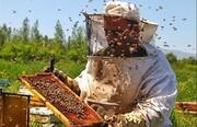 آغاز برداشت عسل از کندوها در قطب زنبورداری آذربایجان شرقی