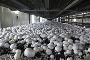 تولید قارچ دکمه ای در چهارمحال و بختیاری رونق گرفت