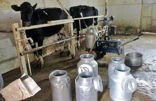 دامداران گرفتار در دام گرانی؛ وضعیت شیر تو شیر قیمت محصولات لبنی