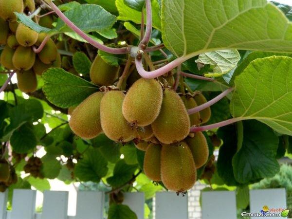 صادرات کیوی بعد از ۱۵ مهرماه منعی ندارد