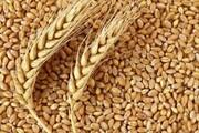 ۲۵۰۰ تن گندم و جو بذری از پیمانکاران استان سمنان خریداری و فرآوری شد