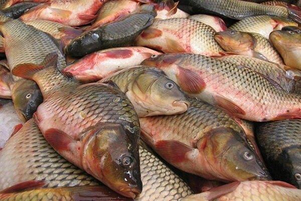 پیش بینی کاهش ۲۰ درصدی صادرات آبزیان از آذربایجان غربی