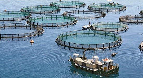 مرکز نرسری سایت پرورش ماهی نکیسا راهاندازی میشود/ اشتغالزایی برای ۳ هزار نفر