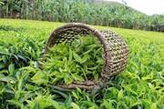 ۱۳ هزار تن چای خشک در شمال تولید شد