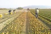 پیش بینی تولید ۴۴ هزار تن سیب زمینی در مزارع آذربایجان غربی