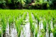 گردش مالی ۱۲ هزار میلیارد تومانی تولید برنج در گیلان