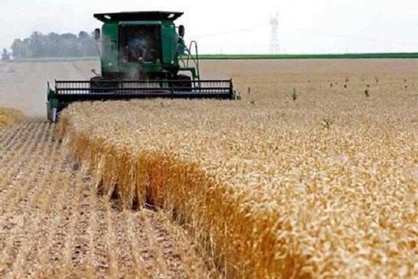 خرید گندم در مازندران ۴۰ درصد افزایش یافت