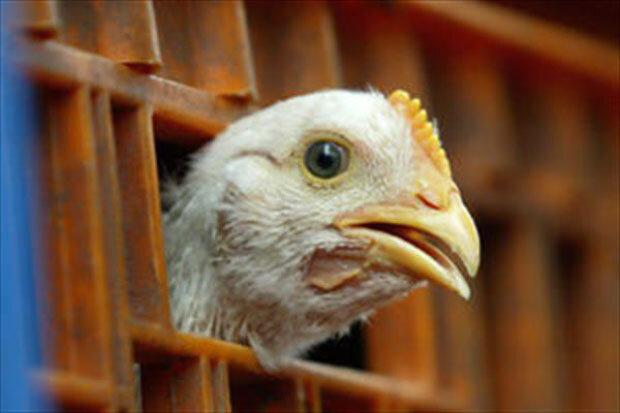 پرواز مرغ از سبد خرید مردم؛ افزایش تقاضا متهم اصلی است