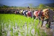 اولین خوشه های طلایی برنج به بار نشست