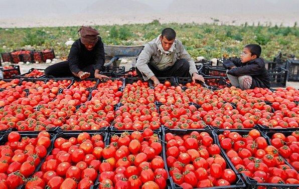 سریال تکراری کاهش قیمت گوجه فرنگی در شمال استان اردبیل؛ قصهای تلخ که دسترنج کشاورزان را به باد داد