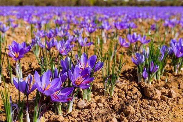 ۲۲۰ هکتار از اراضی کشاورزی چهارمحال و بختیاری به کشت زعفران اختصاص دارد