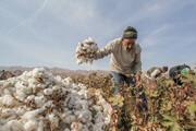 کاشت «طلای سفید» در ساوه؛ استفاده از ارقام زودرس به داد پنبهکاران رسید