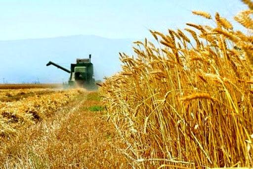 افزایش ۶۱ درصدی خرید تضمینی گندم در خراسان جنوبی