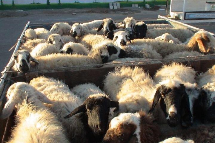 افزایش قاچاق دام از مرزهای غربی به بازار عراق