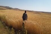 افزایش قیمت نهادههای کشاورزی موجب عقبگرد کردستان در تولیدگندم میشود