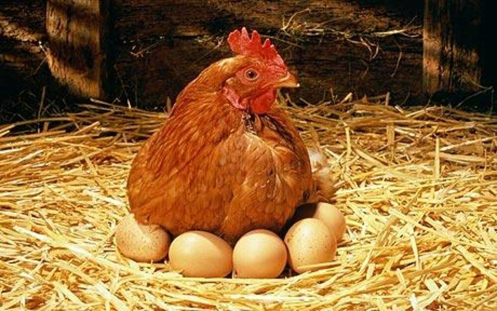 مشکلی برای تأمین مرغ و تخممرغ نداریم؛ گرانی هست کمبود نه