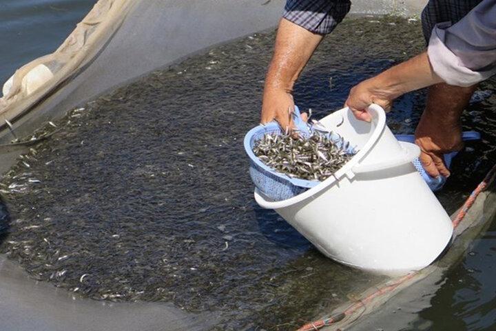 رهاسازی بیش از ۴۲ میلیون قطعه بچه ماهی استخوانی در آبهای گلستان