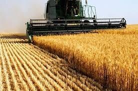 اروپا و امریکا ۸۳ درصد صادرات گندم دنیا را دارند