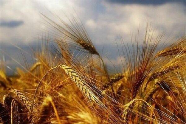 ۱۵۴ هزار تن گندم از کشاورزان زنجان خریداری شد
