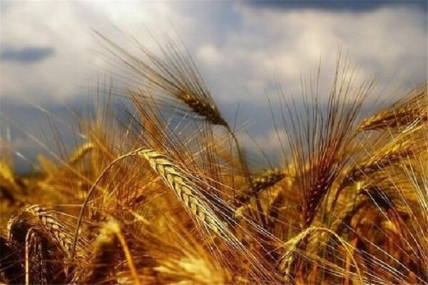 ۳۵۵ هزار تن گندم از کشاورزان زنجانی خریداری شده است