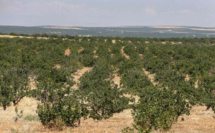 امسال ۳۳۰ هکتار از باغات استان همدان زیر کشت پسته رفته است