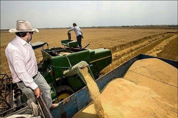 میانگین سن زدگی گندم برداشت شده در قزوین ۴۳ صدم درصد است