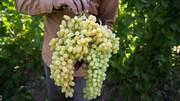 ۷۰ درصد انگور استان قزوین به کشمش تبدیل میشود