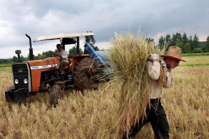 ۲۸۷ هزار تن گندم از کشاورزان لرستانی خریداری شد