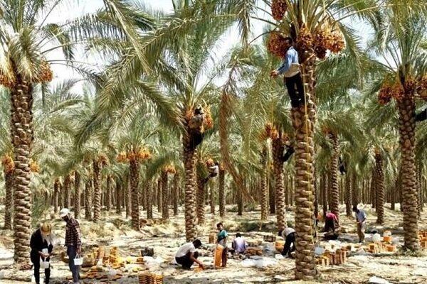 طوفان به نخلداران جنوب کرمان خسارت وارد کرد