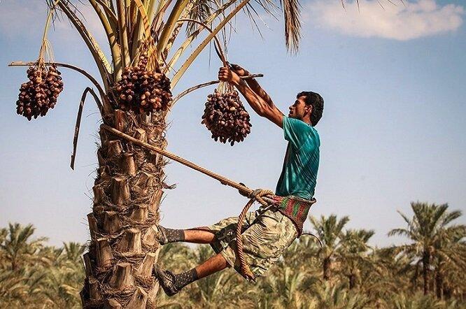 دغدغههای بی پایان کشاورزان بوشهری؛ نخلداران در حسرت آب و در غم نان