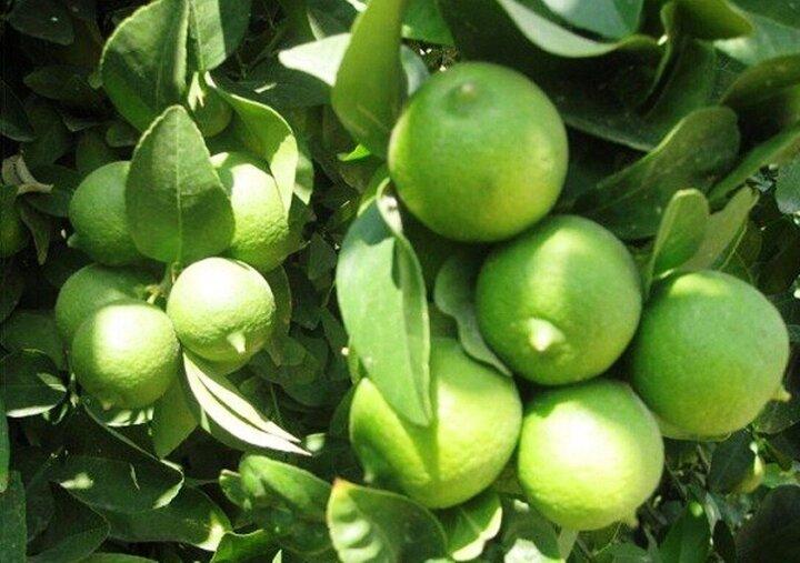 پیش بینی افزایش ۸۰۰۰تنی تولید لیمو ترش در کهگیلویه و بویراحمد