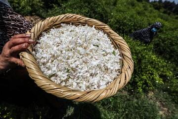 تجارت گل یاس در مصر