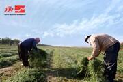 برداشت یونجه از مزارع بهبهان