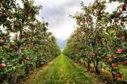۳۱۰ هزار تن محصول باغی در لرستان برداشت میشود