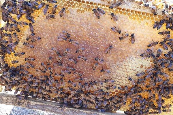 رونق زنبورداری در شهرستان بدره/ لزوم حمایت مسئولان از تولید عسل