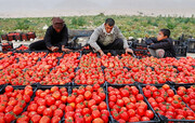 تولید گوجه در لرستان ۲۰۰ تن کاهش یافت/ نبود صنایع تبدیلی