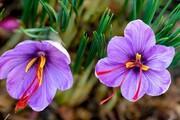 ۱۱۰۰ کیلوگرم زعفران در لرستان برداشت میشود