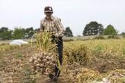 رنج کشاورزان از نبود انبار فنی و سردخانه؛ مشکلات ریشه «سیر» را خشکاند