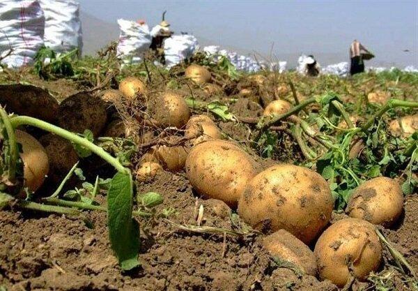 زیان اقتصادی سیب زمینی کاران؛ باز هم مزرعه در انتظار خریدار نشست