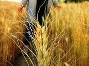 برنامه الگوی کشت پاییزه گندم و جوقزوین تعیین شد