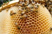 ۲۸۰۰ تن عسل در لرستان تولید شد؛ فعالیت حرفهای ۳۰ درصد از زنبورداران